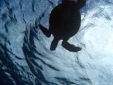Honu from below