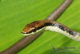 Northern Tree Snake - Dendrelaphis calligaster 7525
