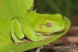 Green Tree Frog - Litoria caerulea 7355