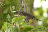 Singing Starling 0253.jpg