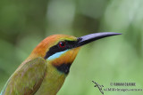 Rainbow Bee-eater 7066