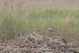 Spotted Redshank a2252.jpg