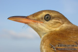 Reed-Warblers, Cistocolas, Grassbirds and Songlarks