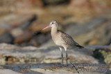 Bar-tailed Godwit 1524.jpg