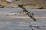 Bar-tailed Godwit 1515.jpg