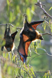 Fruit Bats or Flying-foxes