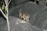 Allied Rock-wallaby