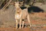 Feral Goat and Feral Pig