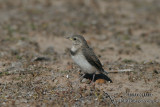 White-fronted Chat 4656.jpg