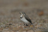 White-fronted Chat 4658.jpg