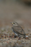 White-fronted Chat 4674.jpg