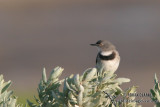 White-fronted Chat 4913.jpg