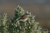 White-fronted Chat 4919.jpg