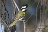 Crested Shrike-tit 1211