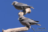 Woodswallows