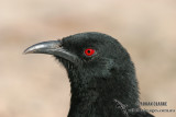 Chough and Apostlebird