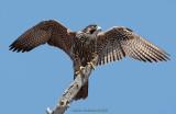 Raptors Fall 2008