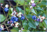 Blueberries Galore