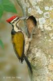 Goldenback, Common (male) @ Neo Tiew Lane 2