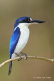 Kingfisher, Forest (female) @ Casuarina Coastal Reserve