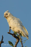 Corella, Little @ Mamukala Wetlands