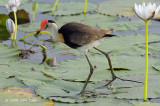 Jacana, Comb-crested @ Yellow Water