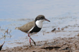 Dotterel, Red-kneed @ Copperfield Dam