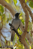 Cuckoo-shrike, Black-faced @ Mary River Park
