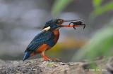 Kingfisher, Indigo-banded @ Villa Escudero