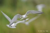 Tern, Whiskered @ Candaba Marsh