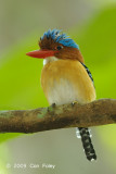 Kingfisher, Banded (male)