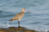Godwit, Bar-tailed @ Nightcliff