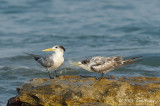 Tern, Crested @ Nightcliff