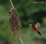 Broadbill, Black-and-red @ Kinabatangan
