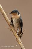 Swallow, Pacific (juvenile)