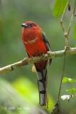 Trogon, Red-headed (male) @ Telecom Loop