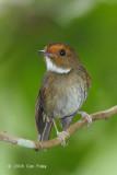 Flycatcher, Rufous-browed @ Jln Richmond