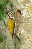 Goldenback, Common (female) @ Neo Tiew Lane 2