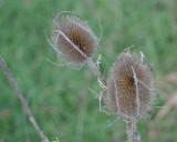 Tørrede blomster i naturen