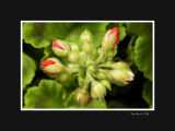 Red buds 1