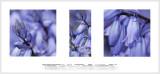 Essay in pale violet