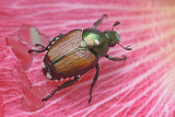 Bug On A Pink Flower 20080711