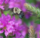 Bee In Flight 16290