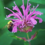 Bee On A Purple Bee Balm 20080721