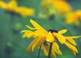 Black-eyed Susans 16485