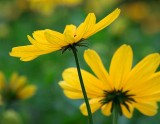 Black-eyed Susans 16493