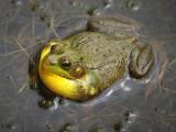 Stony Swamp Croaker 16375