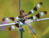 Dragonfly On A Fence 16774
