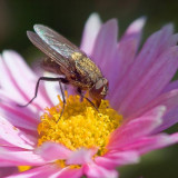 Fly On A Pink Flower 21355A