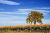 Tree In A Cornfield 22446